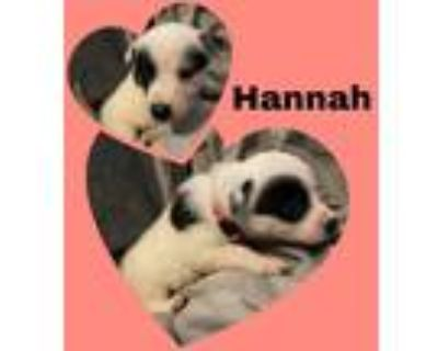 Adopt Hanna a White - with Black Border Collie dog in oklahoma city