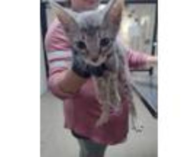Adopt kitten 6 a Gray or Blue Domestic Shorthair / Domestic Shorthair / Mixed