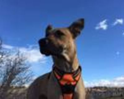 Adopt Kaori a Pit Bull Terrier