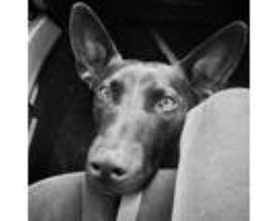 Adopt Sophie $300 a Basset Hound