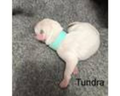Adopt Tundra Tibby May a White - with Tan, Yellow or Fawn Catahoula Leopard Dog