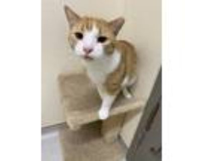 Adopt Honey a Orange or Red Domestic Shorthair / Domestic Shorthair / Mixed cat