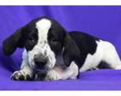 Harper, Dachshund For Adoption In Westminster, Colorado