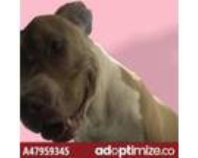 Adopt 47959345 a Brown/Chocolate American Pit Bull Terrier / Mixed dog in El