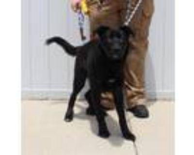 Adopt A692946 a German Shepherd Dog, Labrador Retriever