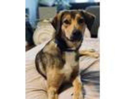 Adopt Hudson a Brown/Chocolate Hound (Unknown Type) / Mixed dog in Fort Worth