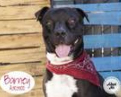 Adopt BARNEY a Pit Bull Terrier