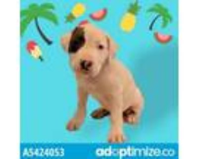 Adopt A5424053 a Pit Bull Terrier, Great Dane