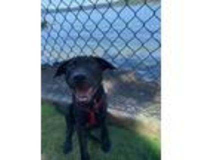 Adopt Elliott a Black Labrador Retriever
