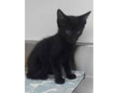 Adopt 655057 a All Black Domestic Shorthair / Domestic Shorthair / Mixed cat in