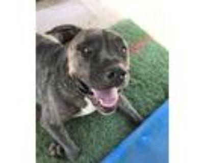 Adopt Preston a Pit Bull Terrier, Mastiff