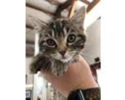 Adopt Coconut a Domestic Shorthair / Mixed (short coat) cat in Chico