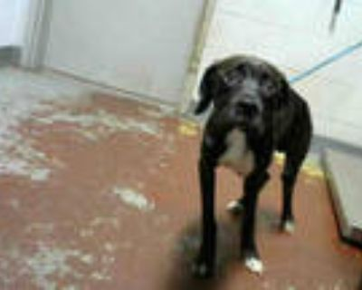 Adopt CORTEZ a Black Labrador Retriever / Mixed dog in Atlanta, GA (32056681)