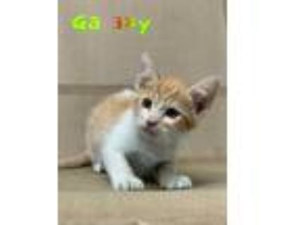 Adopt Galaxy a Orange or Red Domestic Shorthair / Domestic Shorthair / Mixed cat
