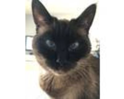 Adopt Muffin/Kitty a Brown or Chocolate (Mostly) Siamese / Mixed (medium coat)