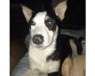 Adopt Big Bear a Black - with White Husky / Setter (Unknown Type) / Mixed dog in