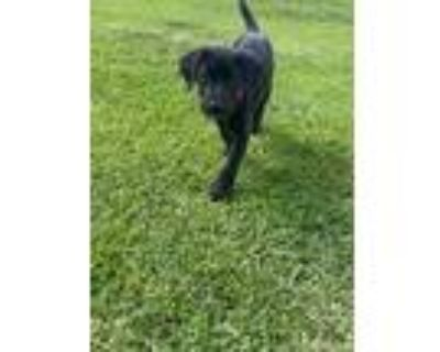 Adopt Max a Black - with White Great Dane / Labrador Retriever / Mixed dog in