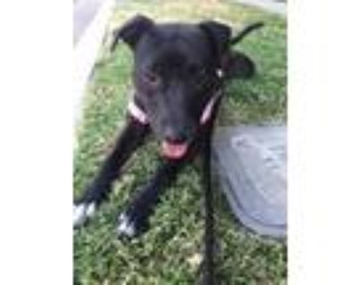 Adopt Wilma a Brown/Chocolate Labrador Retriever / Pit Bull Terrier / Mixed dog