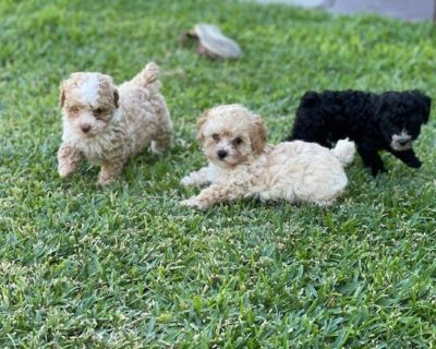 Toy Maltipoo Puppies