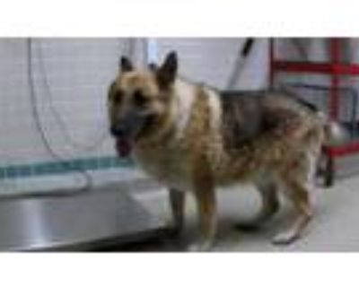 Adopt CHARTE a Brown/Chocolate - with Black German Shepherd Dog / Mixed dog in