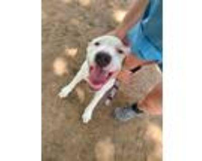 Adopt Axel a Pit Bull Terrier, Labrador Retriever