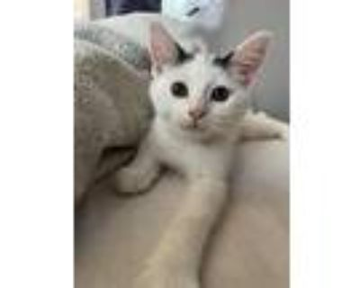 Camry Hitchhiker, Domestic Shorthair For Adoption In Mount Laurel, New Jersey