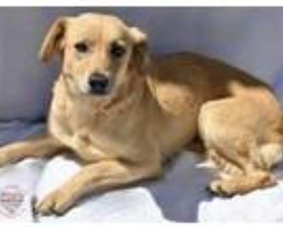 Adopt Lindsey a Beagle, Labrador Retriever