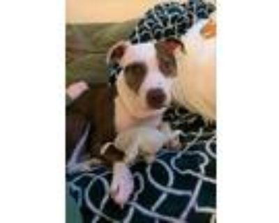 Adopt LEXI W a White - with Brown or Chocolate American Pit Bull Terrier / Mixed