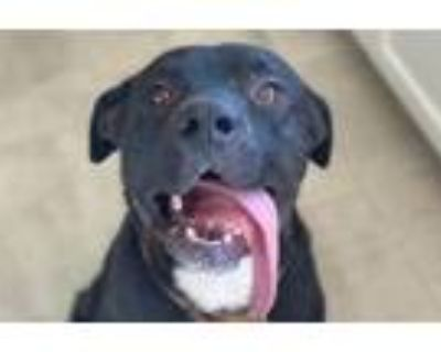 Adopt Gene a Labrador Retriever, American Staffordshire Terrier