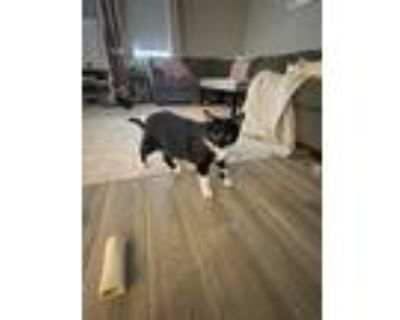 Adopt Buster a Black & White or Tuxedo Domestic Shorthair / Mixed (medium coat)