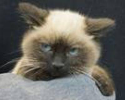 Adopt Grumpy Charlie Tuna d a Siamese, Domestic Short Hair