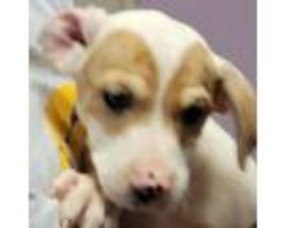 Adopt Joey a Hound, Pit Bull Terrier