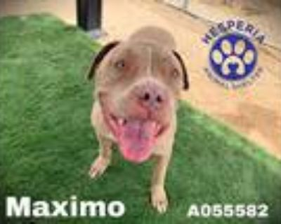 Adopt MAXIMO a Brown/Chocolate American Pit Bull Terrier / Mixed dog in