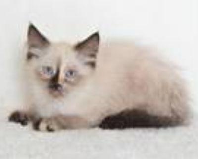 Adopt A590816 a Himalayan, Domestic Short Hair