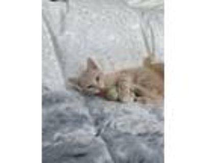 Adopt Poseidon a American Shorthair