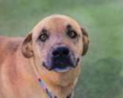 Adopt SPRUCE a Labrador Retriever, Mixed Breed