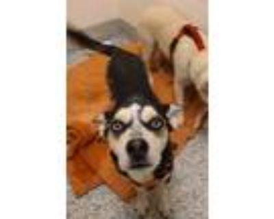 Adopt Joker a Siberian Husky / Mixed dog in Golden, CO (32135927)