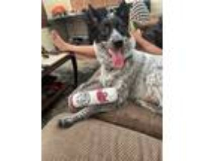Adopt Jackie a Black - with White Australian Cattle Dog / Mixed dog in Hesperia