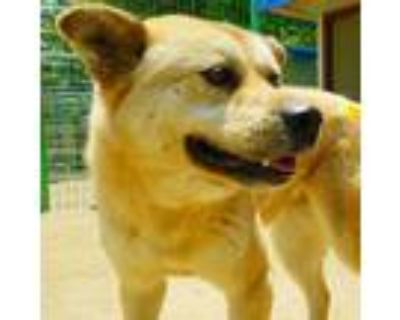 Adopt Ginger a Tan/Yellow/Fawn Jindo / Spitz (Unknown Type