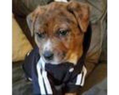 Adopt Ryan Yoda a Australian Cattle Dog / Blue Heeler, Pit Bull Terrier