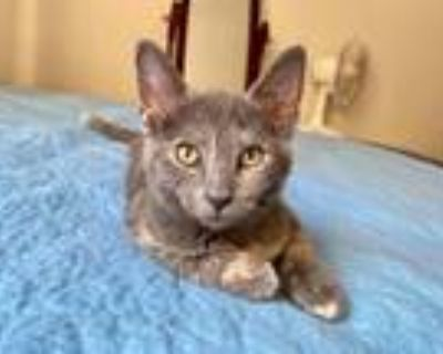 Adopt Poppy a Gray or Blue Domestic Shorthair / Mixed cat in Morgantown