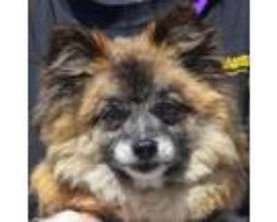 Adopt Honey a Brown/Chocolate - with White Spitz (Unknown Type