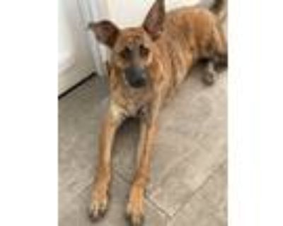 Adopt Buster a Brindle Belgian Malinois / Mixed dog in Palm Desert