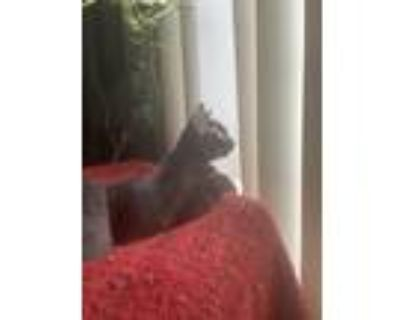 Adopt Patty a Black (Mostly) American Shorthair / Mixed (short coat) cat in Los