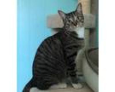 Adopt Desi a Gray or Blue Domestic Shorthair / Domestic Shorthair / Mixed cat in