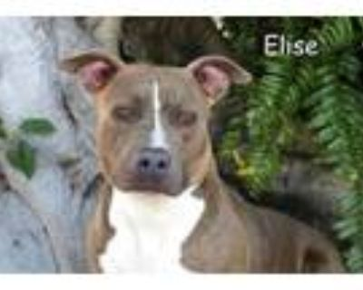 Adopt ELISE a Pit Bull Terrier