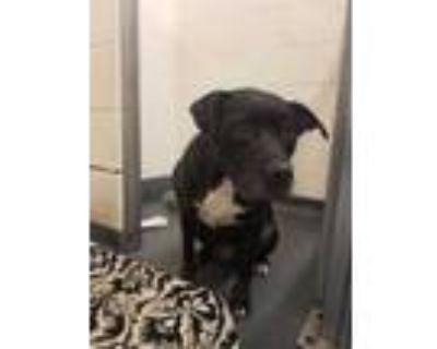 Adopt LUNA a Black Labrador Retriever / Mixed dog in Indianapolis, IN (32088718)