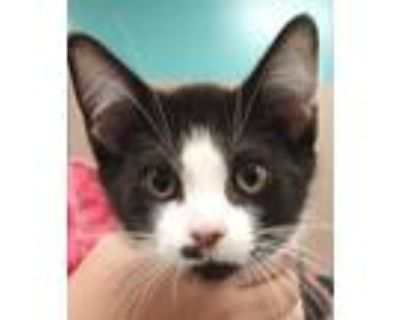 Adopt Taco a All Black Domestic Shorthair / Domestic Shorthair / Mixed cat in