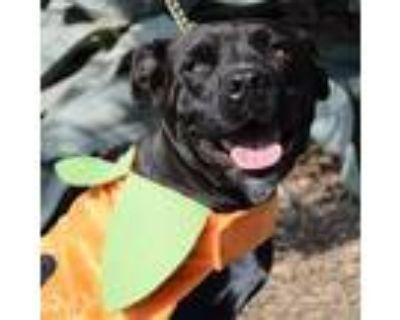 Kurenza Jum, Labrador Retriever For Adoption In Pittsburgh, Pennsylvania
