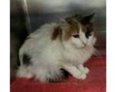 Adopt BELLA a White Domestic Mediumhair / Burmese / Mixed (medium coat) cat in
